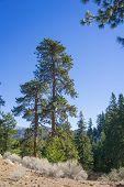Pine Tree In Wilderness