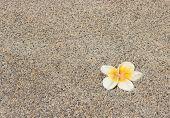 Plumeria Flower On A Background