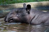 Malayan tapir swimming, close-up of head and neck