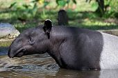 stock photo of tapir  - Malayan tapir swimming - JPG