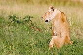 Lioness on Grassland