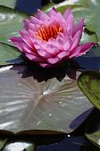 Pink water lily, Nymphaeaceae