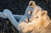Постер, плакат: White lioness with big eyes under the setting sun