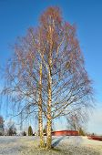 Beautiful Birch-trees