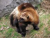 stock photo of wolverine  - Close-up of a wolverine showing the full body with its thick coarse fur and its long sharp claws.