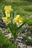 stock photo of daffodils  - Field of beautiful yellow daffodils  in spring time - JPG