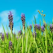 Blue Flowers Grape Hyacinths
