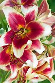 picture of stargazer-lilies  - burgundy lilies flowers in a garden close up - JPG