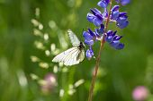 White Butterfly Sits On Flowers On Meadow