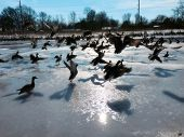 pic of duck pond  - Ducks take off in masse from a frozen pond - JPG