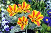 Beautiful Wedensky's Tulip