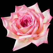 Pink And Cream Rose On Black