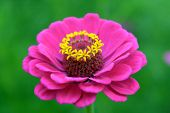 foto of zinnias  - pink zinnia flower in garden under sunshine - JPG
