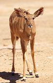 Single Kudu (tragelaphus Strepsiceros)