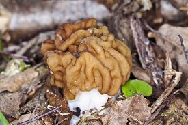 stock photo of morels  - Early spring morel mushroom in the forest photographed close up - JPG