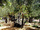 stock photo of gethsemane  - Olives trees in the Garden of Gethsemane Jerusalem - JPG