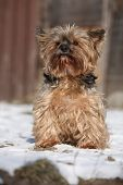 pic of yorkshire terrier  - Beautiful Yorkshire Terrier sitting on snow in winter - JPG