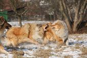 stock photo of collie  - Beautiful Scotch collies playing together in winter - JPG