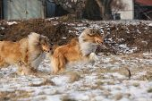 picture of collie  - Beautiful Scotch collies running on snow in winter - JPG