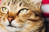 stock photo of yellow tabby  - Close Up Portrait Peaceful Tabby Male Kitten Cat - JPG