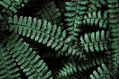 picture of fern  - Fern fronds in the Smokies arranged in an interesting pattern - JPG