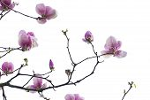 stock photo of magnolia  - Branch of  pink magnolia flowers isolated on the white - JPG