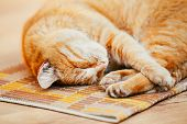 picture of laminate  - Peaceful Orange Red Tabby Cat Kitten Curled Up Sleeping In His Bed On Laminate Floor. ** Note: Shallow depth of field - JPG