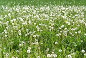 foto of hayfield  - sunny scenery showing a meadow with lots of dandelion blowballs at spring time - JPG