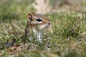 Постер, плакат: Eastern Chipmunk Poking Its Head Out Of A Hole