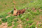 picture of marmot  - Marmot near the burrow - JPG