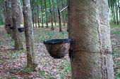 stock photo of row trees  - Row of para rubber tree - JPG