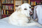 stock photo of sleepy  - closeup of a sleepy Spanish Mastiff indoor with library on background - JPG