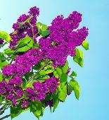 foto of lilac bush  - lilac bush against the blue sky - JPG