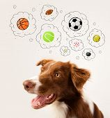image of border collie  - Cute brown and white border collie thinking about balls in a thought bubbles above his head - JPG