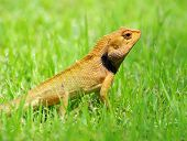 foto of lizards  -  lizard strolling in the grass - JPG
