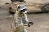 image of raccoon  - Raccoon sitting and staring intently - JPG