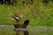 image of rainforest  - Hoatzin bird in amazon rainforest - JPG