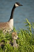 pic of mother goose  - Canada goslings sit in the grass while the mother watches protectively in the background - JPG