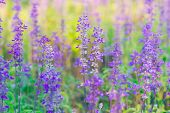 pic of salvia  - Blue Salvia farinacea flowers blooming in the garden - JPG