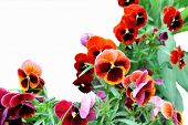 image of viola  - Red flowers viola tricolor on a white background