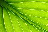 veia de folha verde
