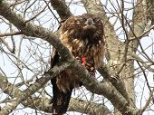 Juvenile Bald Eagle Eating Lunch