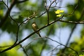 stock photo of nightingale  - the nightingale sits on a branch of a tree with dismissed leaves - JPG