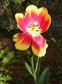 Or Yehuda Tulip Isolated 2011