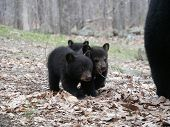 Three Little Bear Cubs