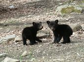 Two Little Cubs