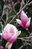 stock photo of japanese magnolia  - Two magnolia denudata blossoms on leafless branches close - JPG