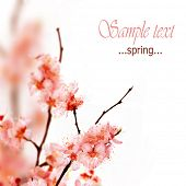 foto of cherry blossoms  - Spring Blossom - JPG