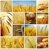 Wheat.Harvest concepts.Cereal collage