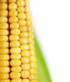 Ear of Sweet Corn closeup